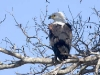 african-fish-eagle-3328