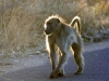 baboon-backlit-4220