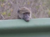 baboon-head-on-railing-0057