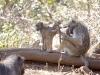 baboon-picking-fleas-1825
