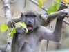 baboon-with-leaf-0050