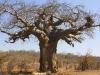 baobab-tree-7679