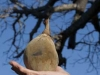 baobab-tree-fruit-8788