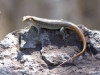 brown-tailed-skink-9380