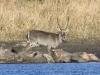 bushbuck-male-2342