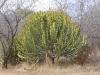 cactus-tree-3545