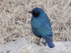 cape-glossy-starling-0469