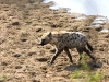 hyena-on-beach-9551