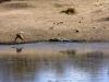 impala-drinking-wcrocodile-4956