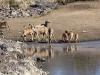 impala-kudu-at-waterhole-4934