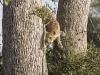 leopard-descending-9526