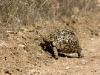 leopard-tortoise-9694