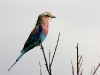 lilac-breasted-roller-8967