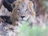 lion-9379