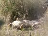 lioness-sleeping-9187