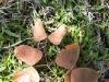 mopani-leaves-6172
