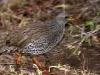natal-spurfowl-0997