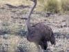 ostrich-8851