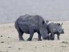 rhino-cow-n-calf-2883