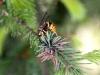 sandhills-hornet