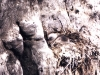 arctic-tern-chick