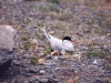 arctic-tern-on-nest