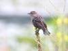 blackbird-tri-wing-female