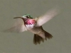 hummingbird-calliope-male
