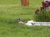 killdeer-adult-chick
