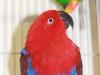 parrot-eclectus