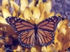 monarch-butterfly-on-yellow-crocus
