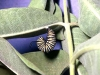 monarch-caterpillar-hanging