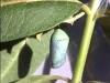 monarch-chrysalis