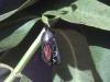 monarch-clear-chrysalis