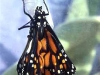 monarch-just-hatched