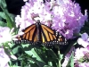 monarch-on-pink-hydragena