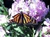 monarch-on-pink-hydragena