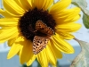 northwestern-fritillary-on-sunflower