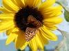northwestern-fritillary-on-sunflower
