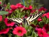 swallowtail-on-red