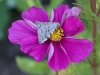 grey-moth