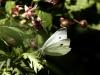 moth-white