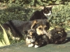 dog-with-kittens