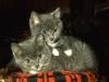gray-kittens