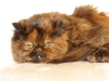 persian-cat-tortoise-shell