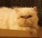 persian-cat-white