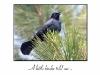 birthday-blackbird