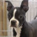 boston-terrier-puppy