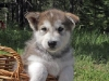 Alaskan Malamute Puppy in-basket