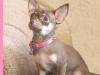 chihuahua-puppy